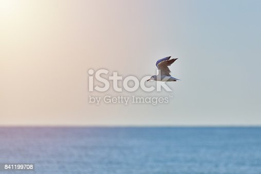 istock Seagull flying over the sea, wild life at sunrise 841199708