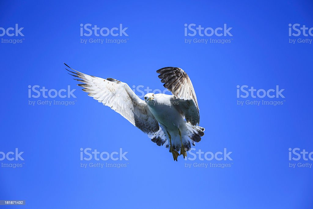 seagull flying royalty-free stock photo