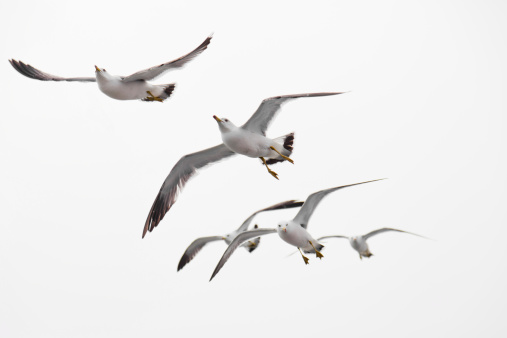 Flight of a large seabird. The seagull (Larus marinus) has spread its large wings.