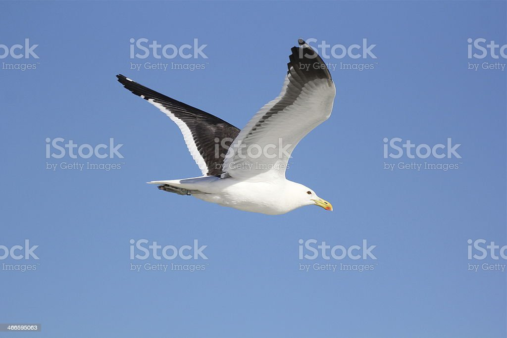Seagull flying stock photo