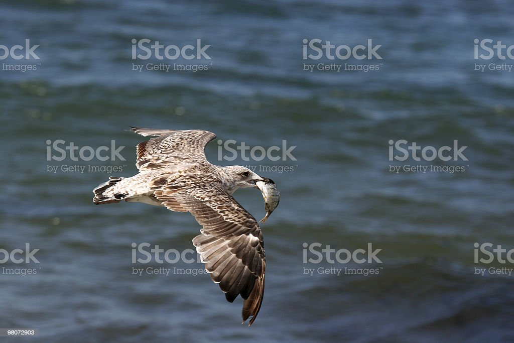 Seagull Flying with a fish royalty-free stock photo
