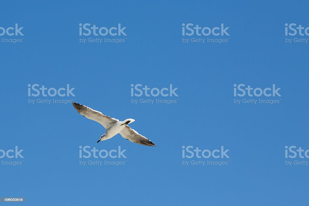 Seagull flying with open wings. royalty-free stock photo