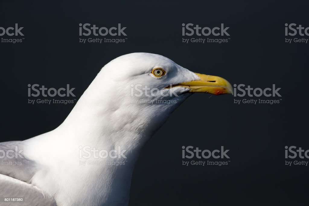 Seagull head close up profile isolated against plain background. Herring gull face. stock photo