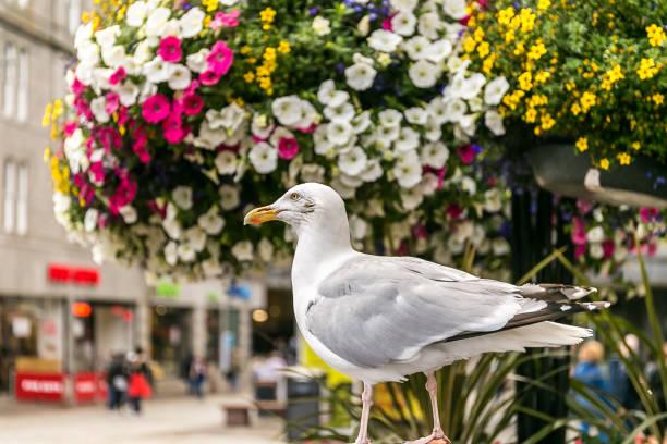 Seagull in Aberdeen in Scotland, UK stock photo
