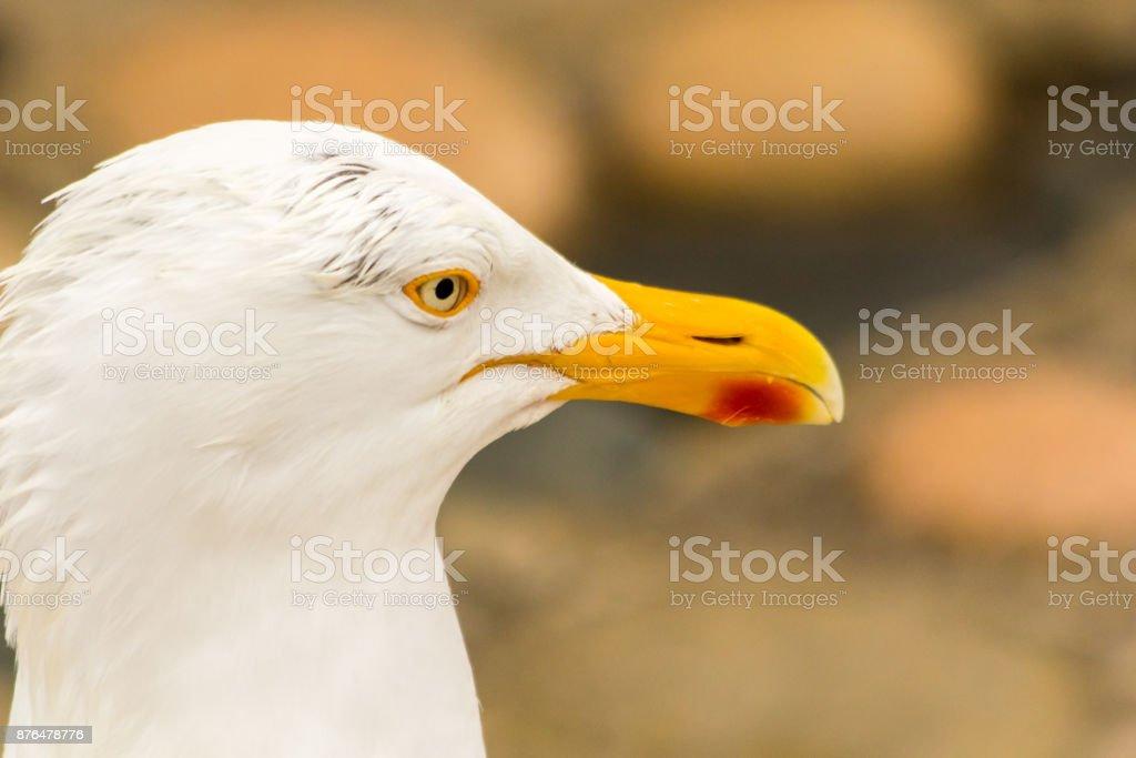 seagull in closeup stock photo