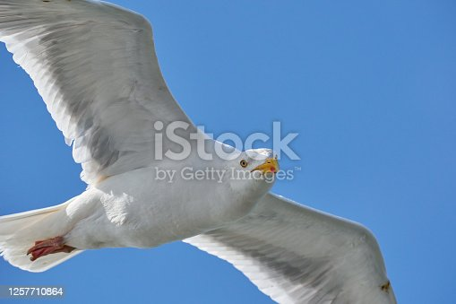 Seagull in flight against blue sky, background., seen from below. Part of body.