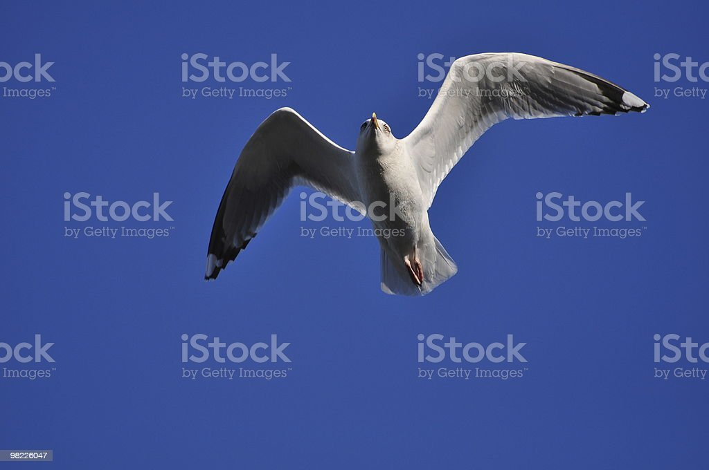 Seagull in flight against blue sky royalty-free stock photo