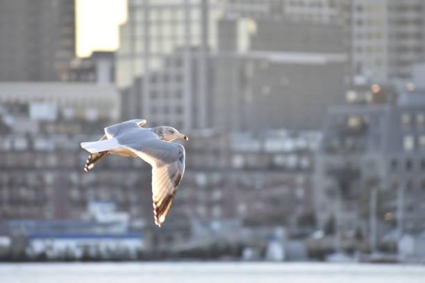 Seagull in Flight, East Boston stock photo