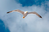 Seagull flying on the sea. Elba Island, Italy. A standing European herring gull, Larus argentatus, a large gull, isolated on sea background. close up bottom view.