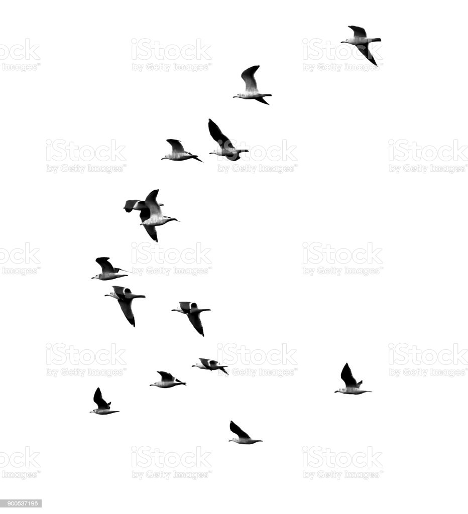 seagull in flight on a white background stock photo