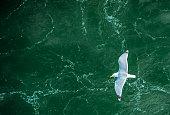seagull in flight over ocean waves