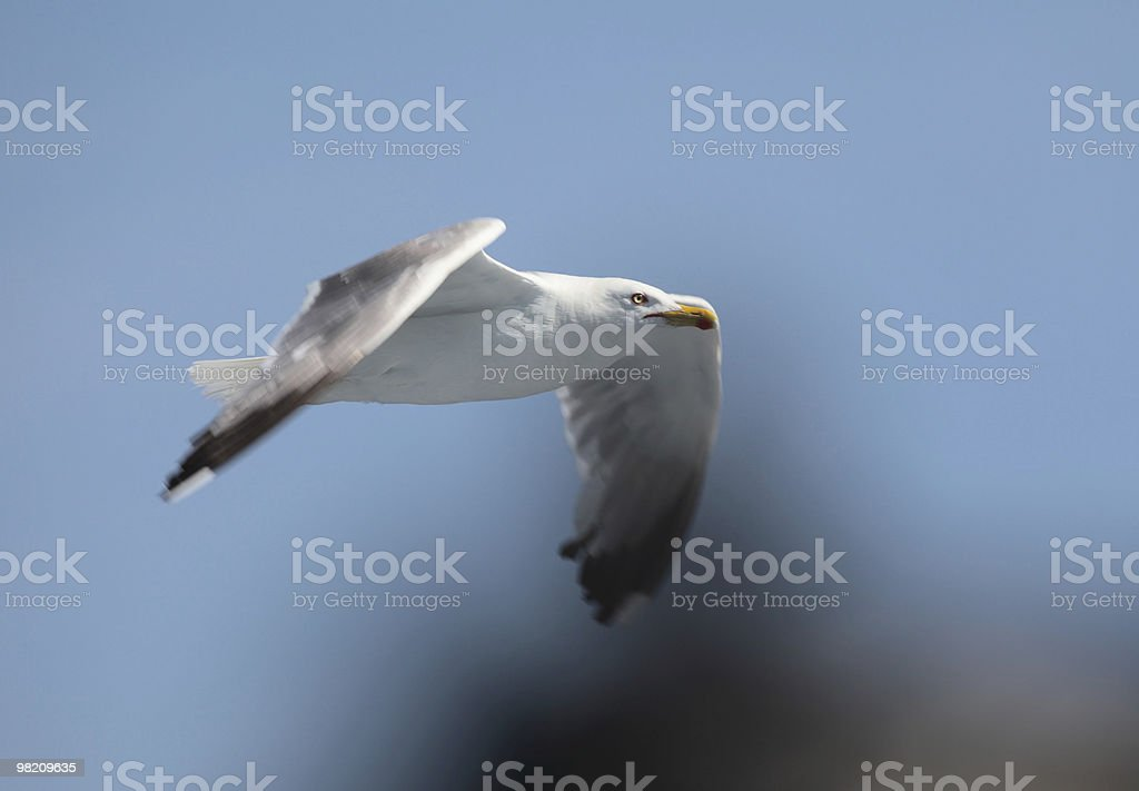 Seagull in flight. royalty-free stock photo
