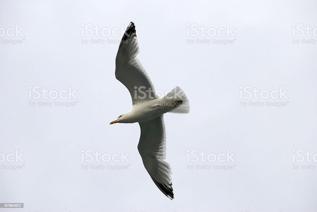 Seagull in flight, seen from below, copy space royalty free stockfoto