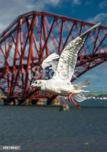 Seagull in front of Edinburgh Forth Bridge