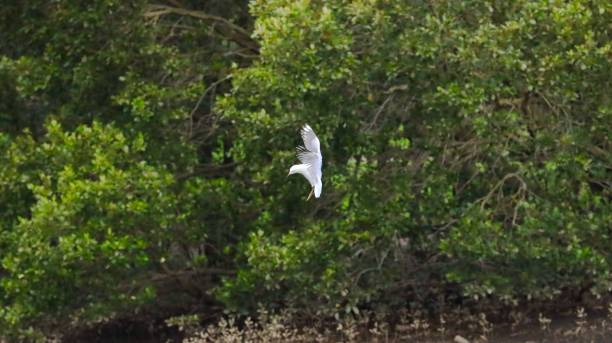 zeemeeuw in volledige vlucht over een wildreservaat in sydney australië dat door weelderige groene bomen met aardige blauwe hemelen een rivier en mangroven wordt omringd - amerikaanse zangers stockfoto's en -beelden