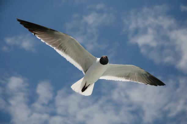 Seagull in full flight stock photo