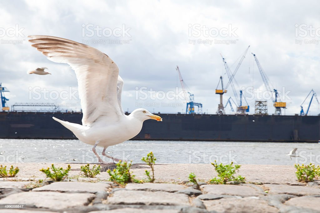 Seagull in Hamburg stock photo
