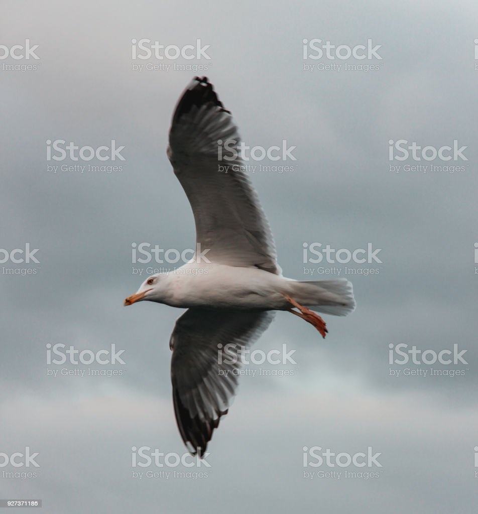Seagull in Istanbul - Royalty-free Animal Stock Photo