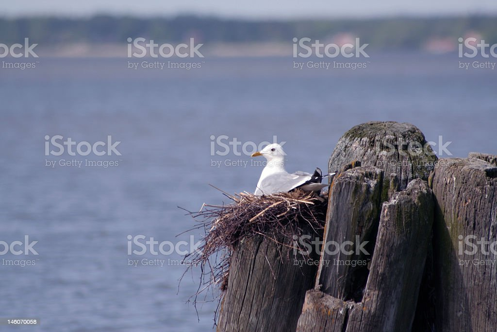 Seagull In Its Nest Stock Photo - Download Image Now - iStock