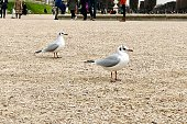 Seagull in Luxembourg park (jardin du Luxembourg) in Paris, France. January 5, 2020.