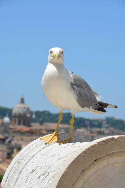 Gaviota en Roma - foto de stock