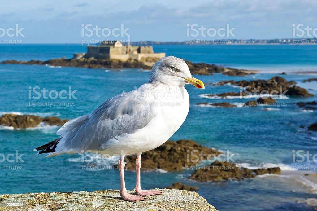 Seagull in Saint Malo stock photo