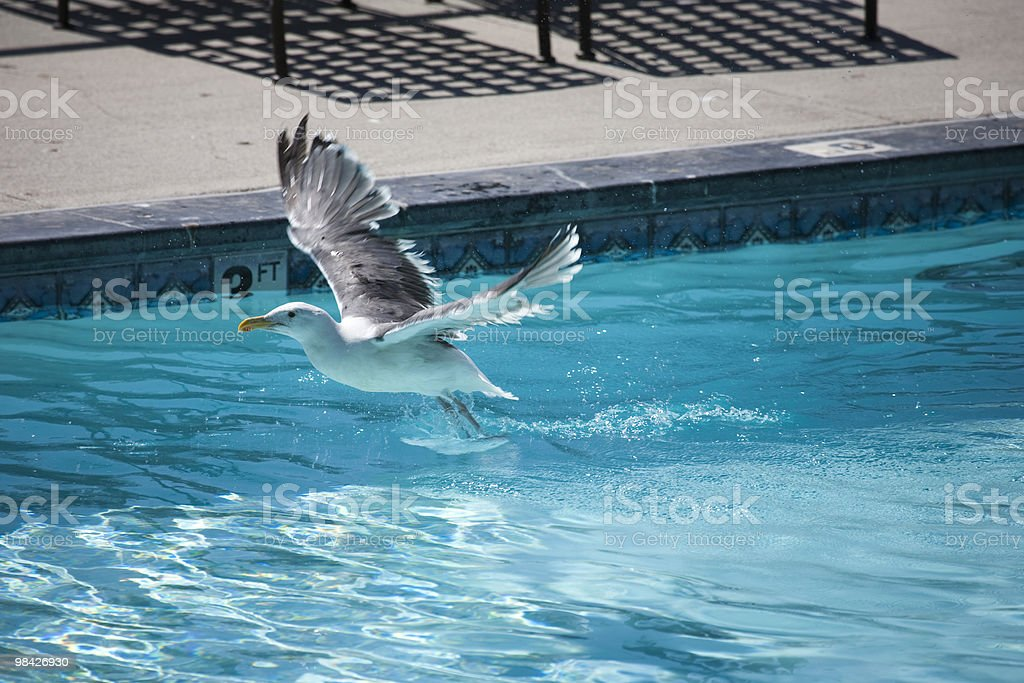 Gabbiano in piscina foto stock royalty-free
