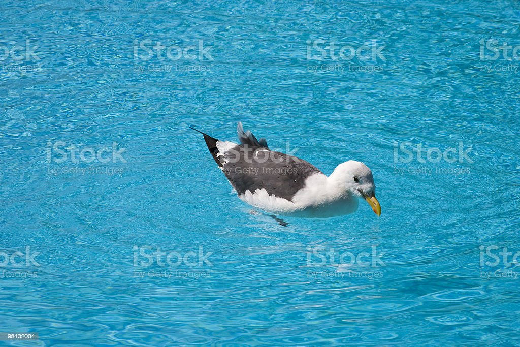 Seagull in swimming pool royalty-free stock photo