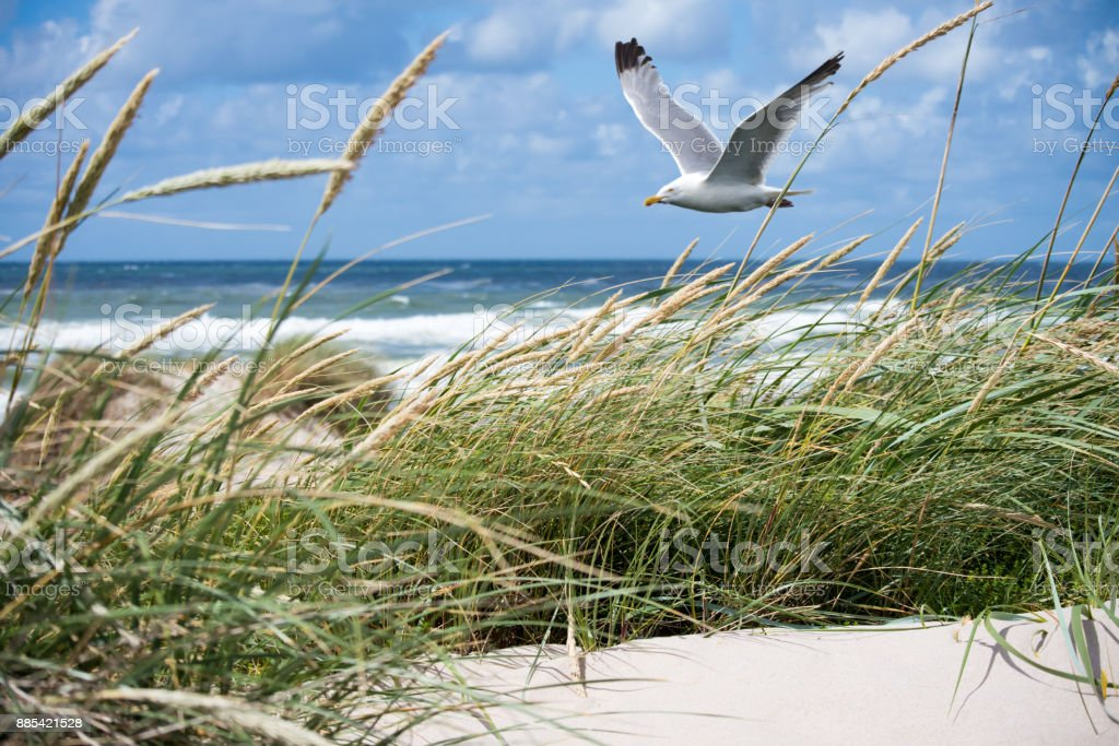 Seagull in the Dunes stock photo