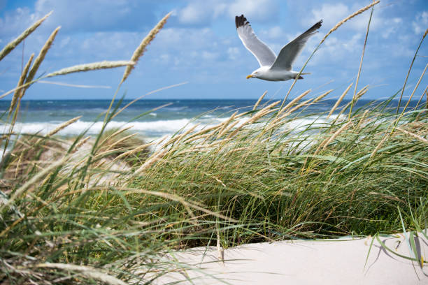 seagull in the dunes - sand dune stock photos and pictures