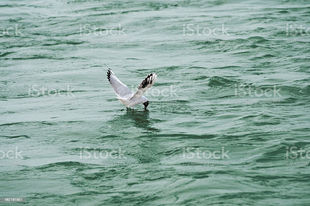 seagull in the lake foraging for food stock photo