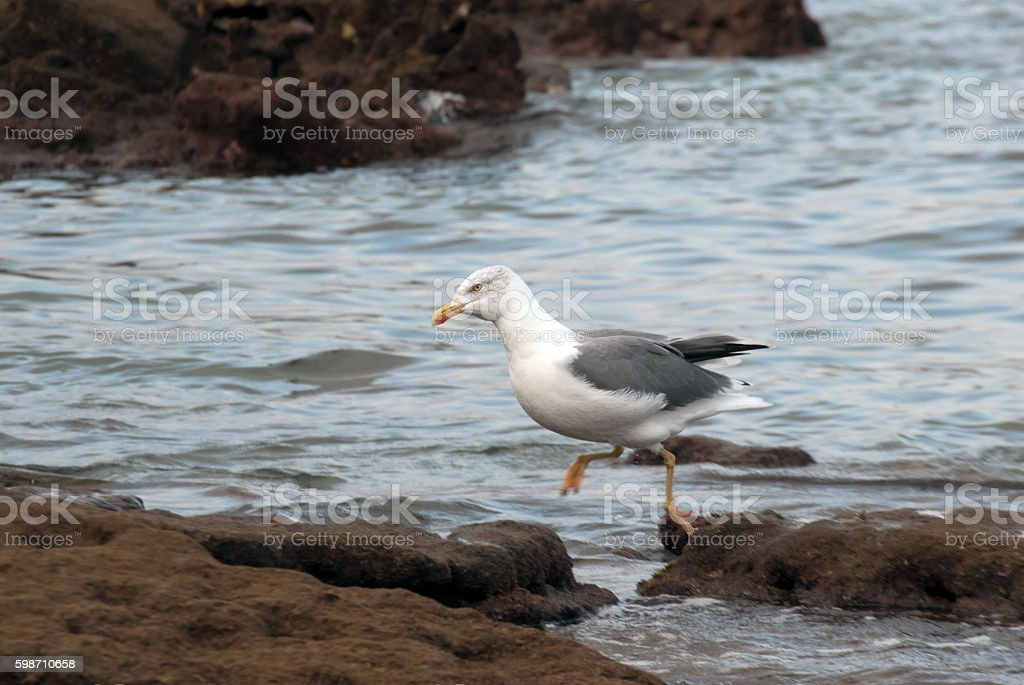 Seagull in the reef stock photo