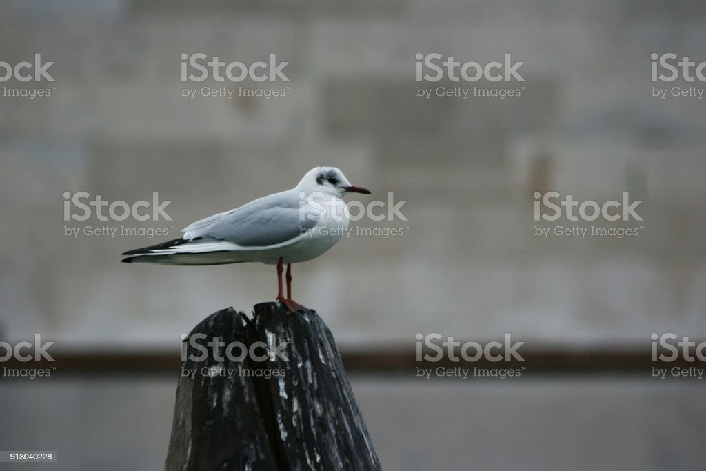 seagull in Venice (winter season) stock photo