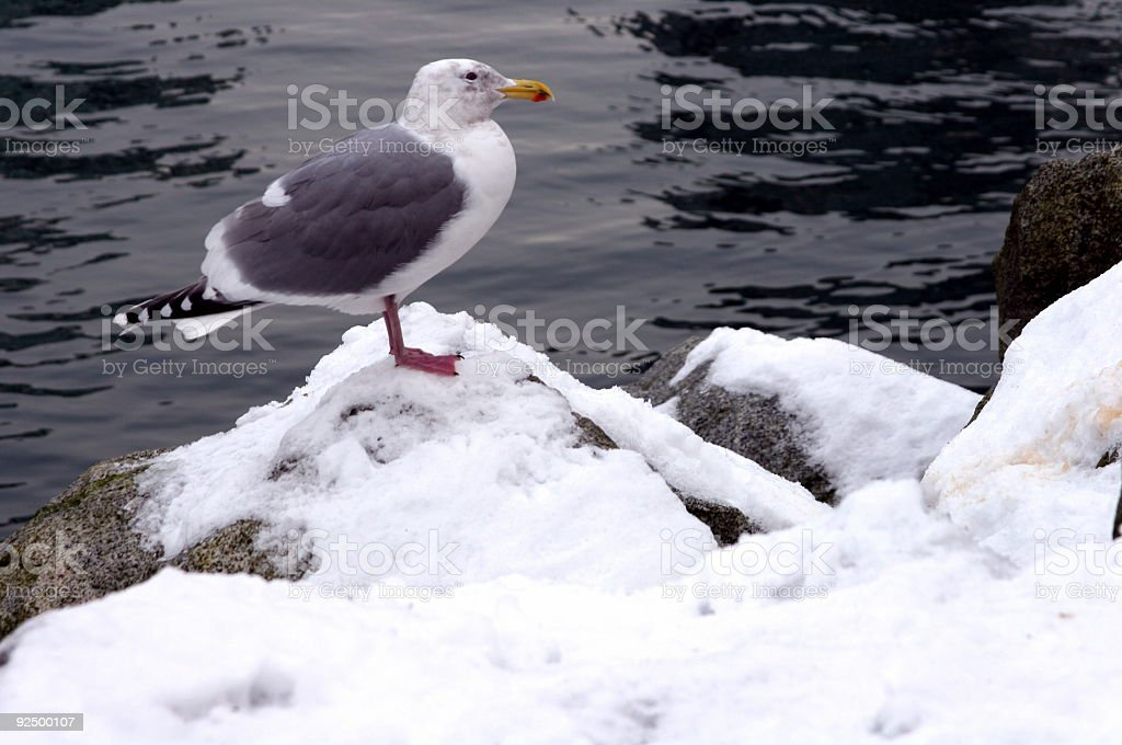 Seagull In Winter Snow royalty-free stock photo