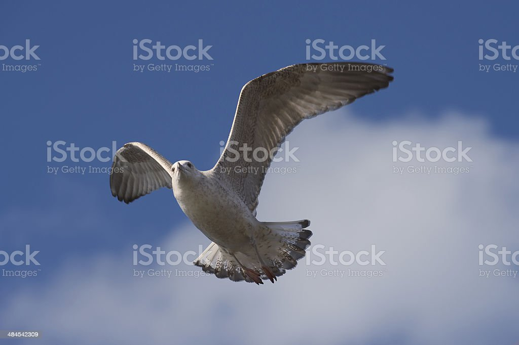 Seagull is flapping its wings to gain height royalty-free stock photo