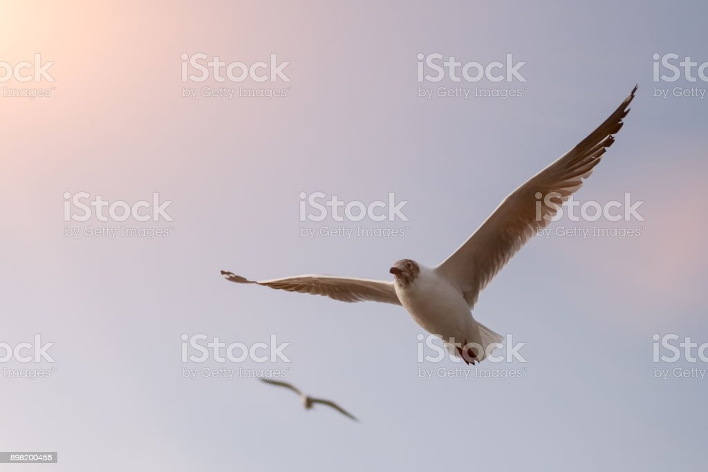 Seagull is flying with blue sky.