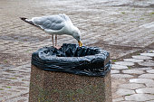 Seagull is searching for food in the street trash bin