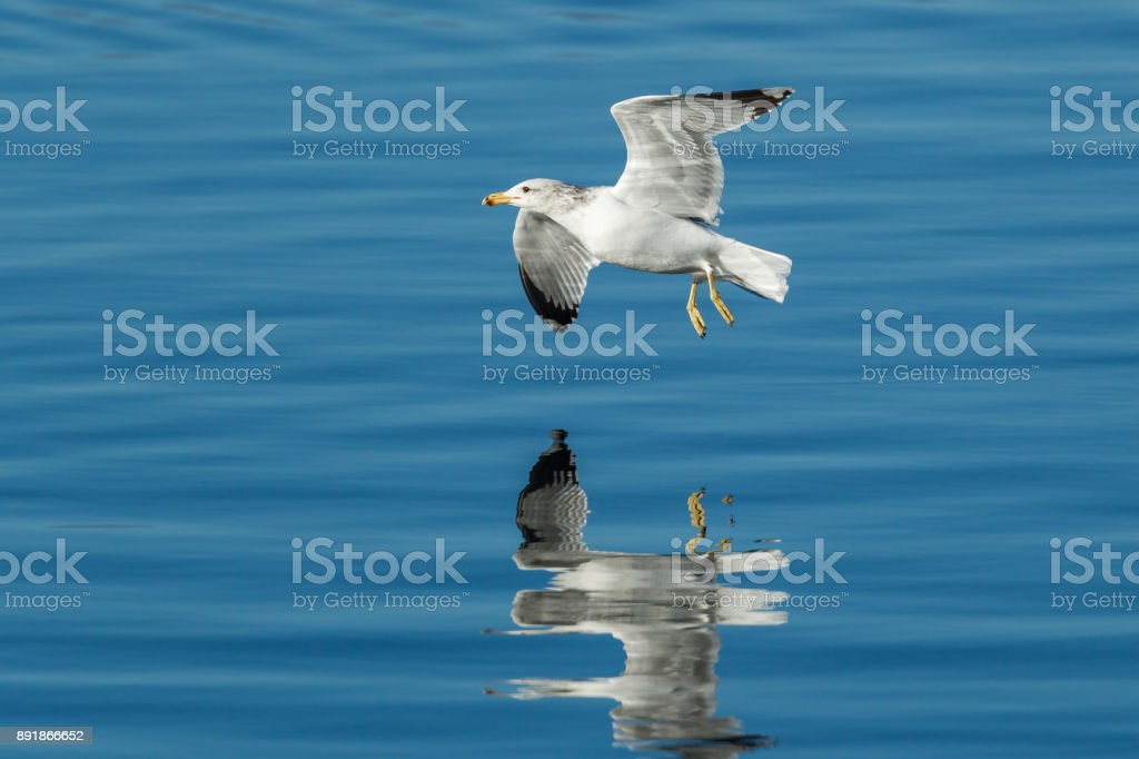 Seagull just above the calm water. stock photo