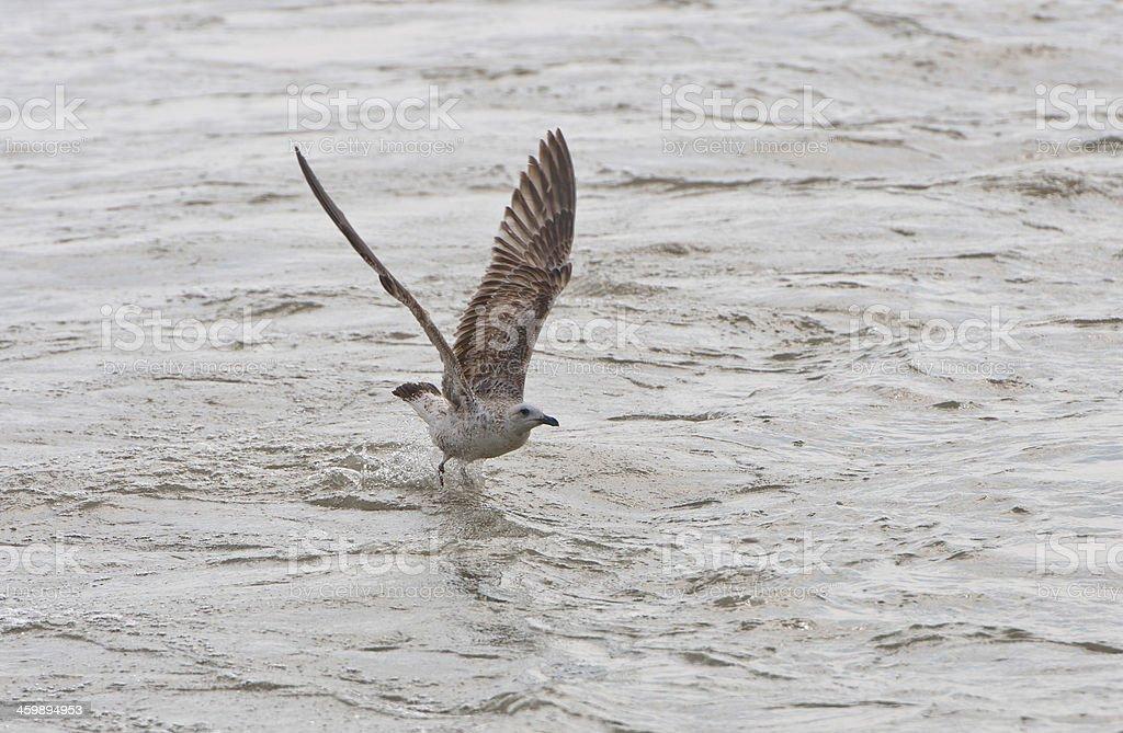 seagull landing in the lake stock photo