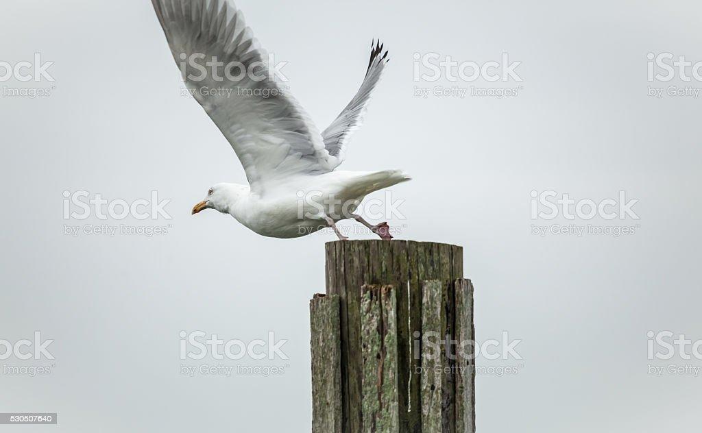 Seagull leaving perch stock photo