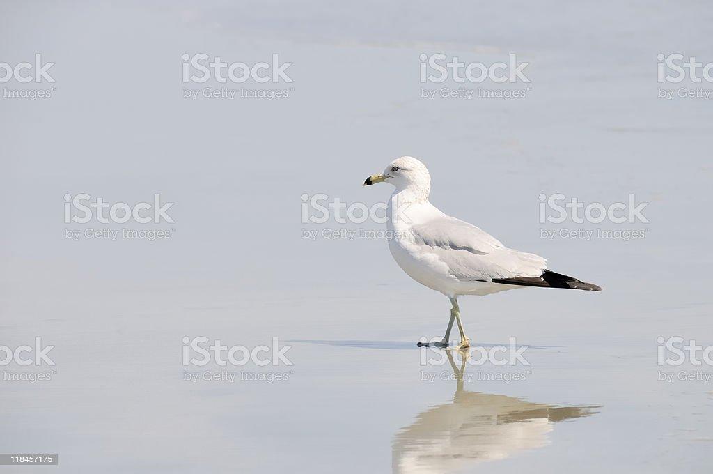 Seagull, Litchfield Beach stock photo