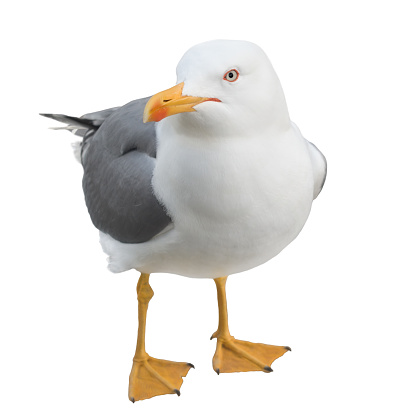 Funny seagull bird standing on its webbed feet and looking at the camera, isolated on white background.