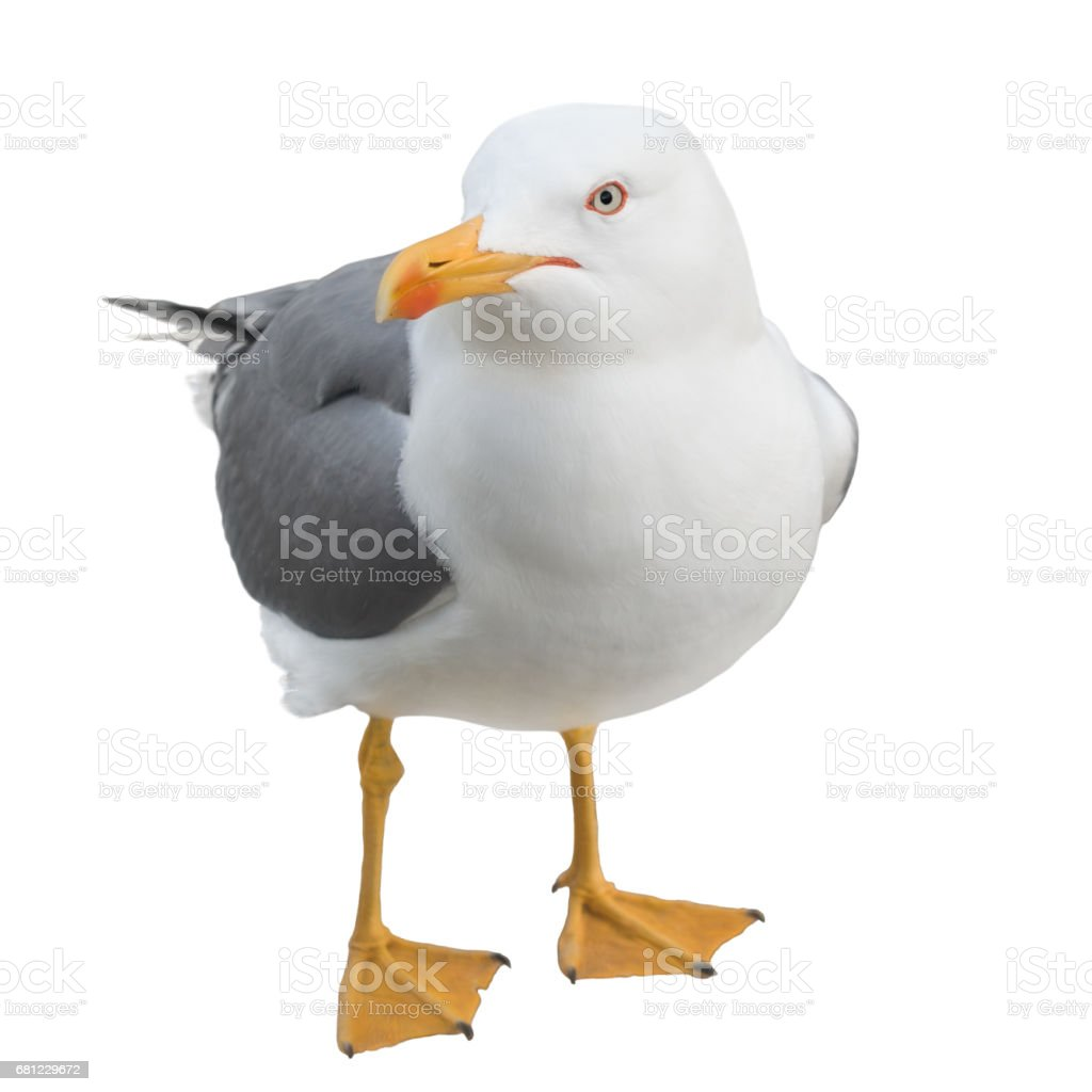 Seagull looking at the camera, isolated on white stock photo