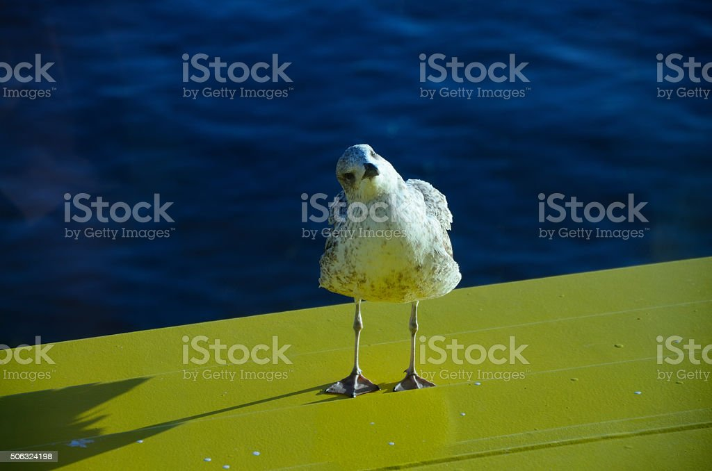 seagull looks askance stock photo