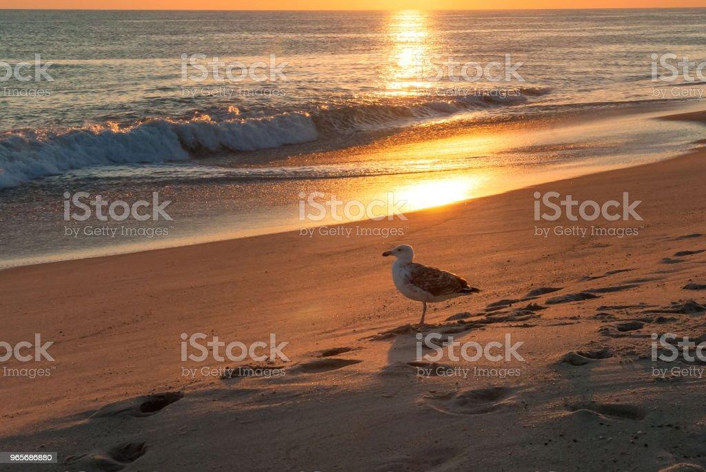 Seagull - Madaket Beah stock photo