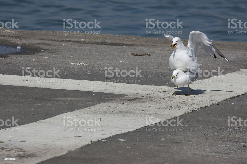 Seagull making babies royalty-free stock photo