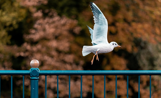 Seagull taking off from a blue metal railing against Autumn trees in Matlock