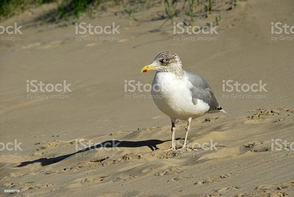 Seagull on a Beach royalty-free stock photo