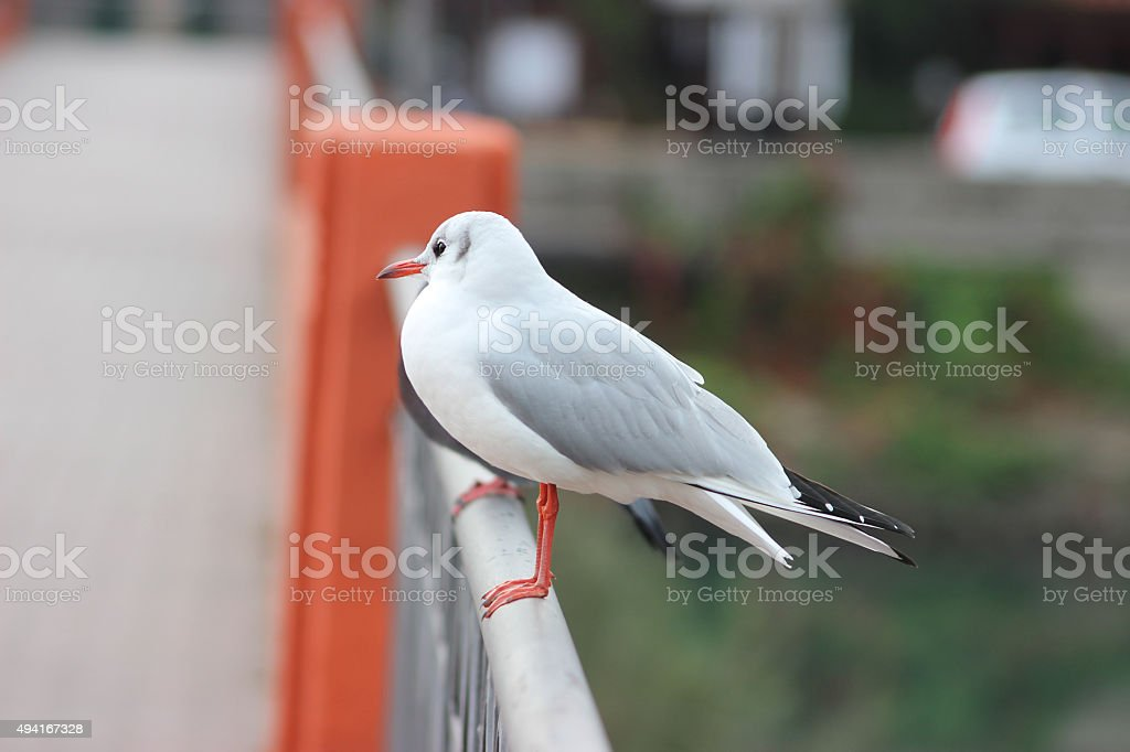 Seagull on a Bridge stock photo