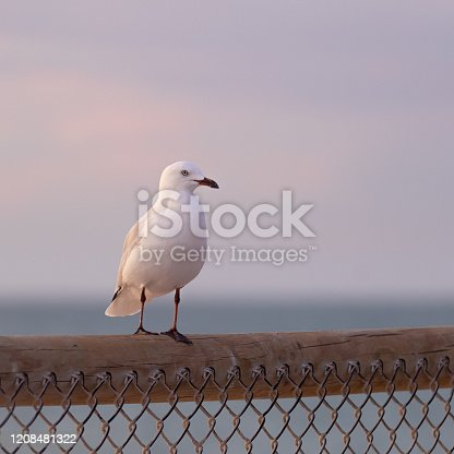 Silver Gull at sunset